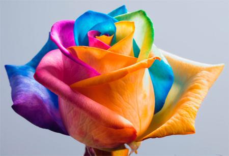 Home Dzine Craft Ideas How To Make Rainbow Roses