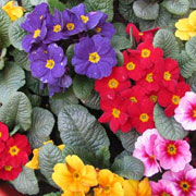 Primulas - a riot of winter colour