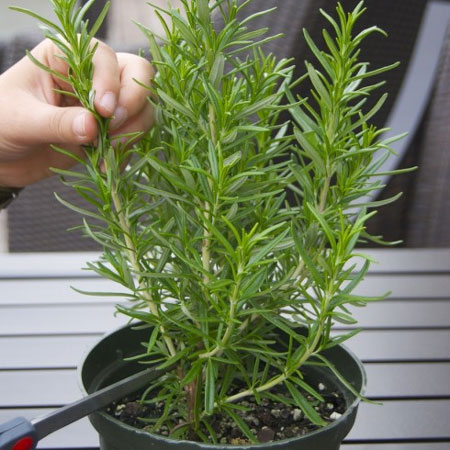 How to propogate rosemary