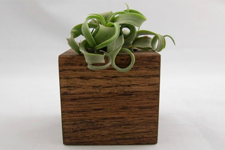 air plant in wood block