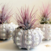 The beauty of air plants - Tillandsia