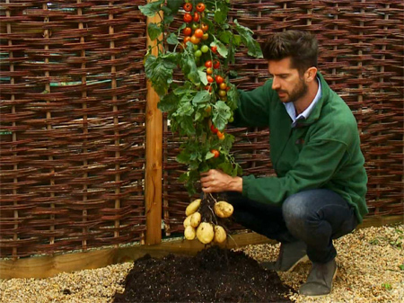 TomTato - The amazing tomato-potato plant