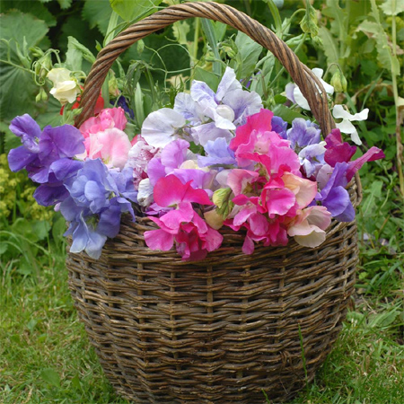 Home dzine home decor decorate your home with spring flowers sweet peas fresh spring flower arrangement display mightylinksfo