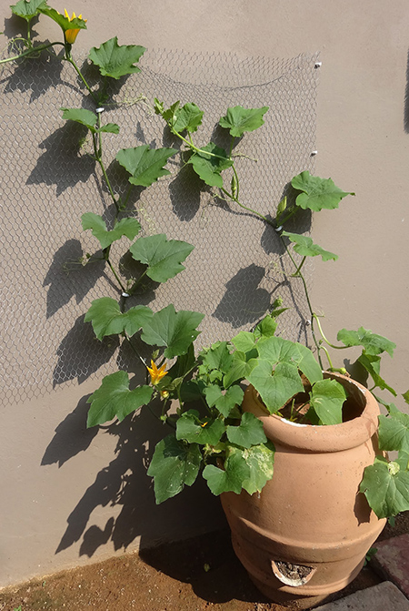 Growing your own butternut, gem squash and cucumber