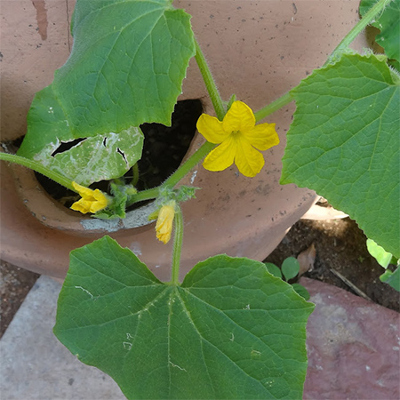 cucumber flowers before fruit