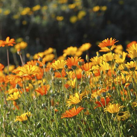 gardening in march african daisies