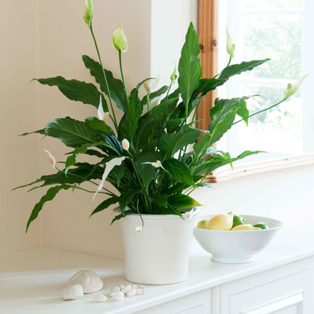 Spathiphyllum are evergreen plants with long leaves and white lily-like flowers