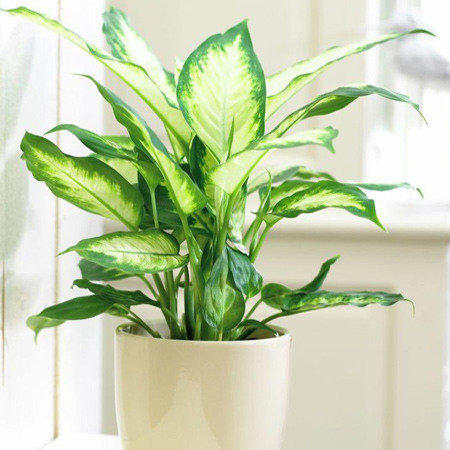 Dieffenbachia is a popular house plant that tolerates shade with some filtered light