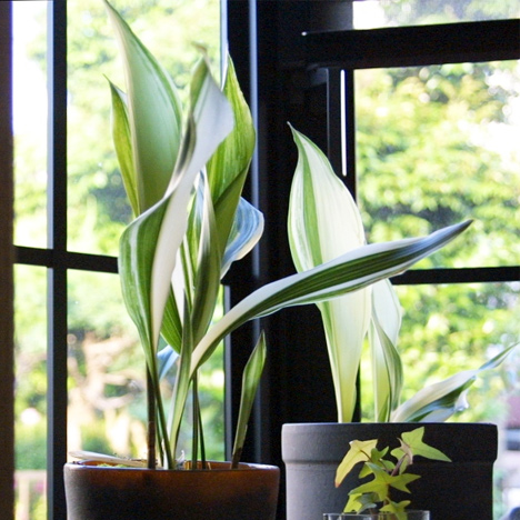 Aspidistra elatior has a reputation for being able to withstanding neglect, hence its name 'cast-iron plant'