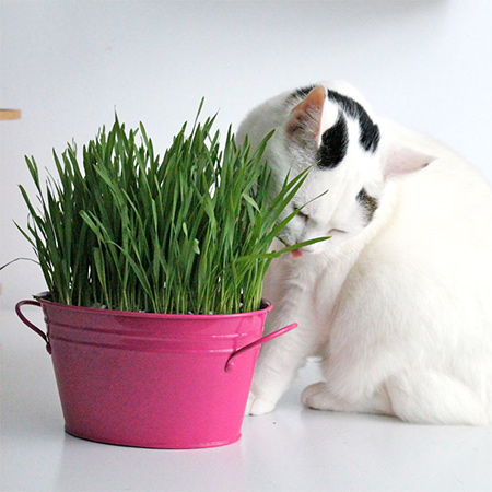Cat grass - dactylis glomerata - keeps your cat entertained and happy, and it's so easy to grow your own cat grass from seed.