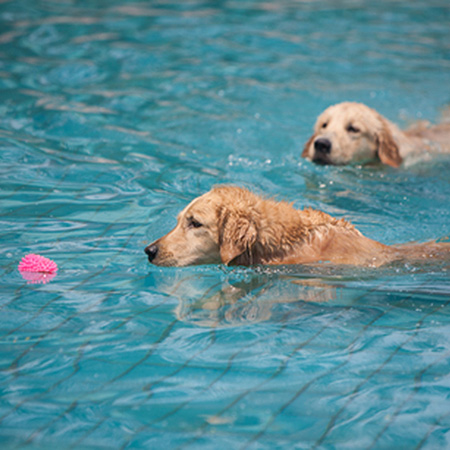 HOME-DZINE - Pool Tips - GOOD TO KNOW: While it's fun for you and your dog to swim in a pool, it's not good for your pool or your dog. Chlorine definitely isn't good for a dog's coat and can irritate the skin. Dog hair can also quickly clog up a sand filter and is not hygenic for anyone swimming in the pool. Keep doggy fun in the pool to a minimum.