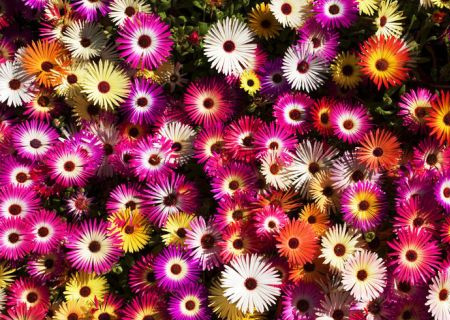 HOME-DZINE | Vygies (mesembryanthemums) are known for their beautiful, bold colours and will brighten any sunny border or bed and grow well inland or at coastal regions.
