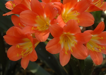HOME-DZINE | Clivias love a shady spot and they are low maintenance, low water plants that bear spectacular bright orange flowers.