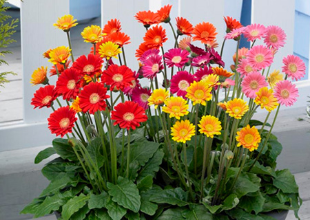 HOME-DZINE | Gerbera are one of the most colourful flowers in the world, and are easy to grow. Visit your local garden centre and plant a kaleidoscope of colour in flower beds.