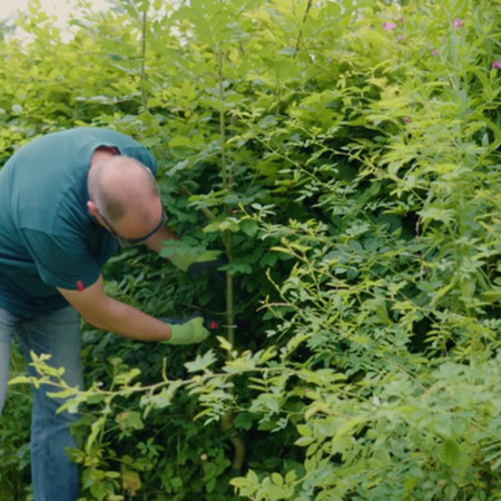 Use a pair of secateurs to trim any unwanted growth