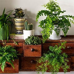 Ferns for indoors