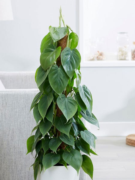 heart leaf philodendron for bathrooms
