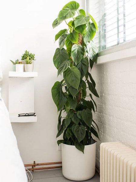 heart leaf philodendron in bathrooms