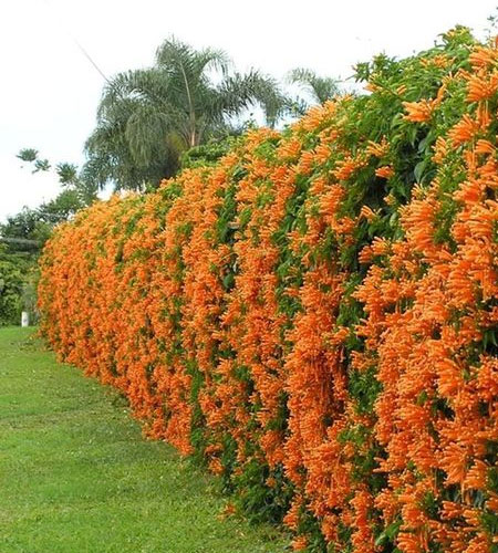 grow creeper to cover ugly fence