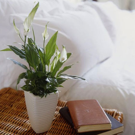 peace lily ideal for bedroom