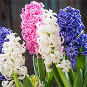 care for hyacinths
