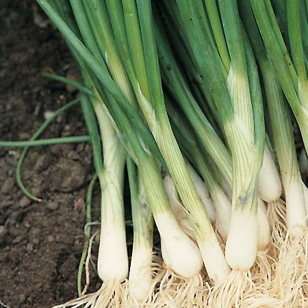 grow spring onions indoors