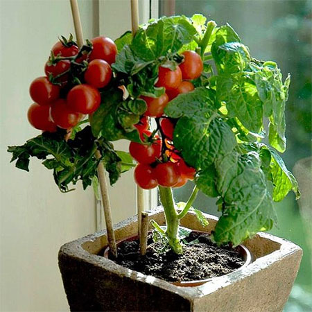grow tomatoes indoors