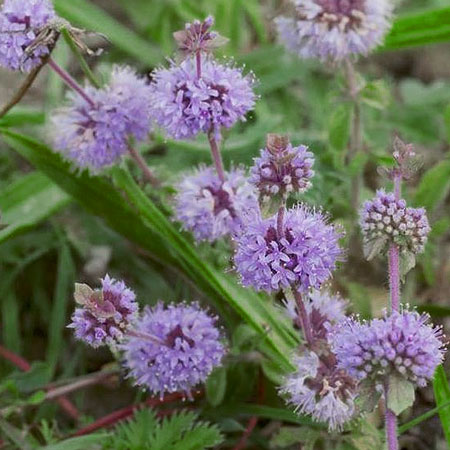 grow pennyroyal to repel flies
