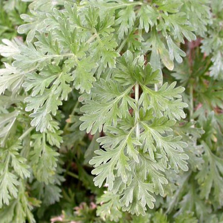 use wormwood to repel flies