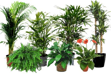 Home dzine lifestyle merge outdoors and indoors for Nasa indoor plant list
